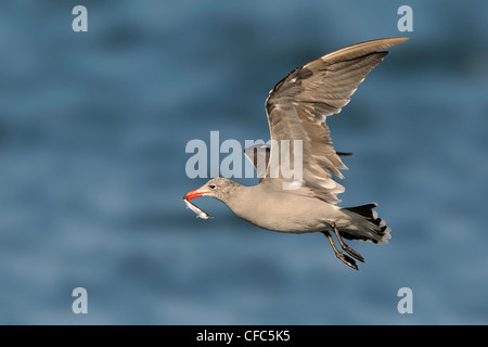 Heerman's Gull with bait fish, Westport WA - Stock Photo