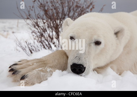 Close-up wide angle head-shot Polar Bear laying - Stock Photo