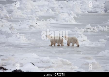 Polar Bears Ursus maritimus adult last year's cub - Stock Photo