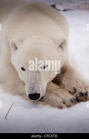 Close-up Polar Bear Ursus maritimus sleeping its - Stock Photo