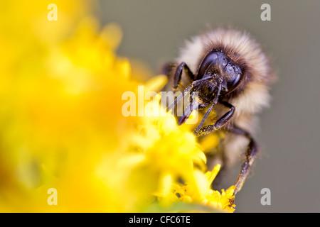 Bumblebee (Bombus) collecting nectar from flowers, Whitehorse, Yukon. - Stock Photo