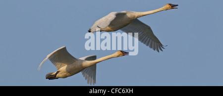 Trumpeter Swans (Cygnus buccinator) flying over Tagish River, Yukon. - Stock Photo