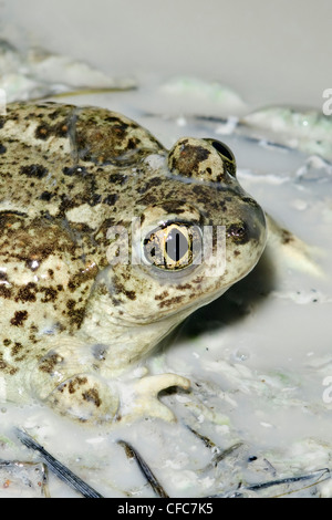 Great Basin spadefoot toad (Spea intermontana), southern Okanagan Valley, British Columbia - Stock Photo