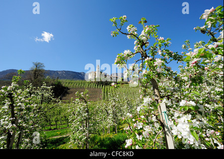 Rows of apple trees in blossom and village with church in background, Eppan, Meran, South Tyrol, Italy, Europe - Stock Photo