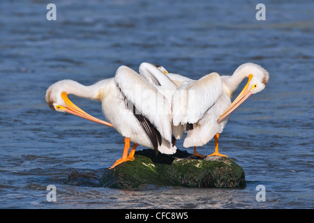 American White Pelicans preening on a rock. Red River, Lockport, Manitoba, Canada. - Stock Photo