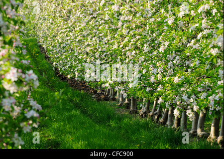 Rows of apple trees in blossom, Vinschgau, South Tyrol, Italy, Europe - Stock Photo