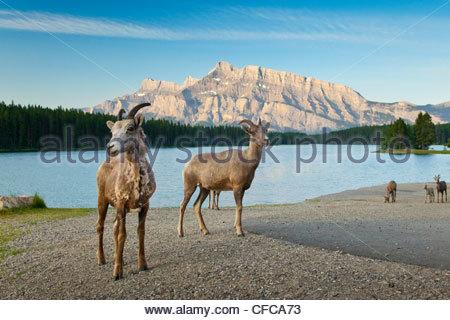 Rocky Mountain Bighorn Sheep at Two Jack Lake in Banff National Park, Alberta, Canada - Stock Photo