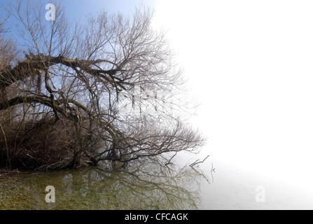 Tree reflecting in the water, Krautinsel, Lake Chiemsee, Chiemgau, Bavaria, Germany - Stock Photo