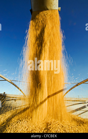 a combine harvester unloads soybeans into a farm truck during the harvest, near Lorette, Manitoba, Canada - Stock Photo