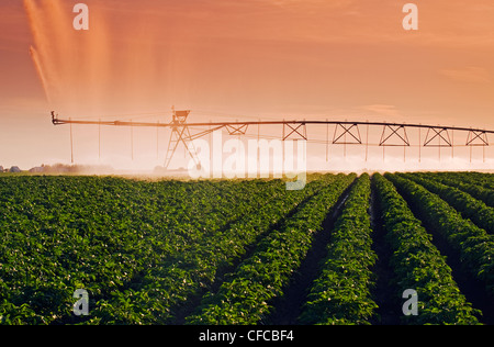 a center pivot irrigation system irrigates potatoes,Tiger Hills, Manitoba, Canada - Stock Photo