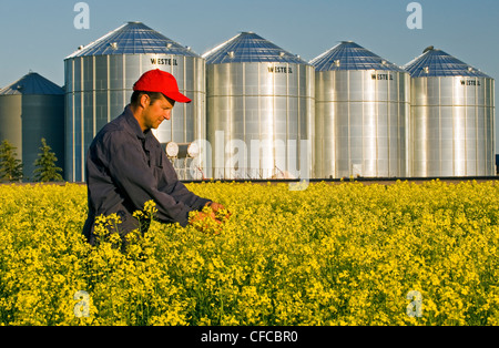 a farmer checks his field of bloom stage canola with grain bins(silos) in the background, Lorette, Manitoba, Canada - Stock Photo