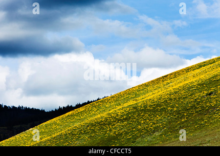 A hillside of wild flowers blooming under stormy skies in Montana. - Stock Photo