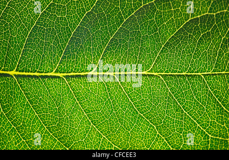 Green leaf texture in sunshine, macro - Stock Photo