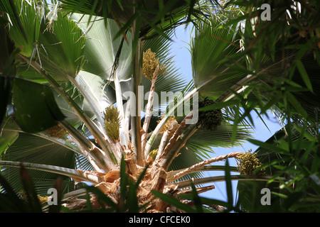 detail of a date palm tree, Maui, Hawaii - Stock Photo