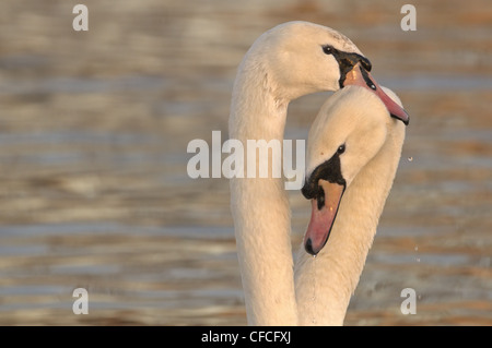 PAIR OF MUTE SWANS CYGNUS OLOR - Stock Photo