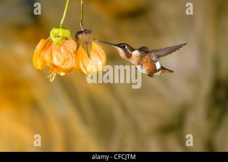 White-bellied Woodstar hummingbird, Chaetocercus mulsant, at Guango Lodge in Ecuador. - Stock Photo