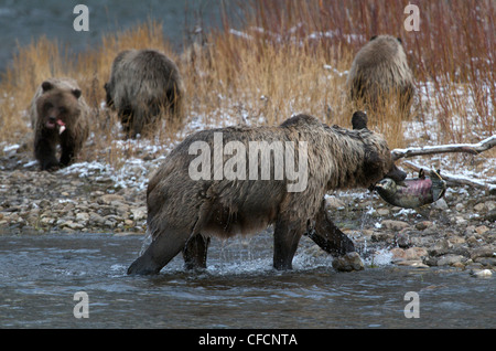 Grizzly Bear Mother Chum Salmon 1st Year Cubs - Stock Photo