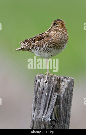 Wilson's Snipe (Gallinago delicata) perched on a fence post - Stock Photo
