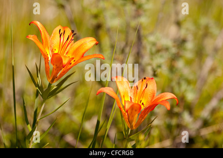 Western Wood Lily, Alberta, Canada - Stock Photo