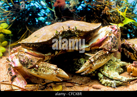 Atlantic Rock Crab, (Cancer irroratus) - Stock Photo
