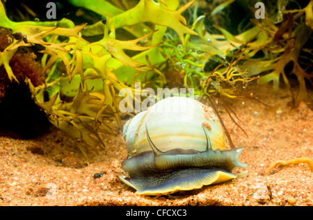 Northern Moon Snail, (Lunatia heros) - Stock Photo