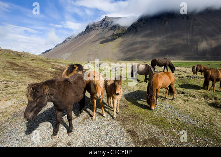 Icelandic horses with volcanic mountains in the distance, South Iceland, Iceland, Polar Regions - Stock Photo