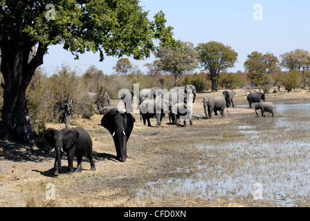 Group of elephants after mud bath, Hwange National Park, Zimbabwe, Africa - Stock Photo