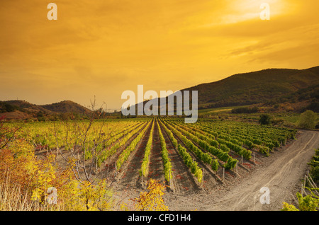 Sunset over a vineyard in the fall season - Stock Photo