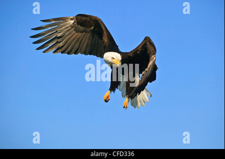 American Bald Eagle (Haliaeetus leucocephalus) in flight, Alaska, United States of America. - Stock Photo