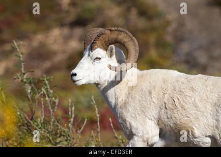 Dall sheep (Ovis dalli dalli), ram, Polychrome Pass, Denali National Park, Alaska, United States of America - Stock Photo