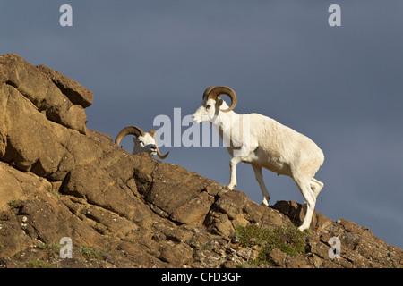 Dall sheep (Ovis dalli dalli), rams, Polychrome Pass, Denali National Park, Alaska, United States of America - Stock Photo