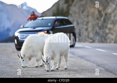 Mountain Goats (Oreamnos Americanus) feeding on salt and tourist sightseers on highway. Jasper National Park, Alberta, - Stock Photo