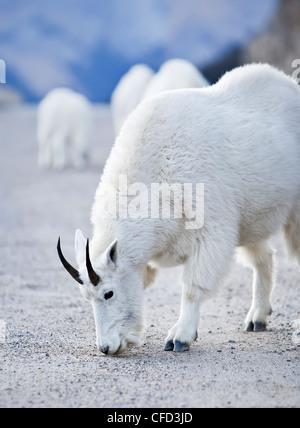 Mountain Goats (Oreamnos Americanus) feeding on roadside salt. Jasper National Park, Alberta, Canada. - Stock Photo