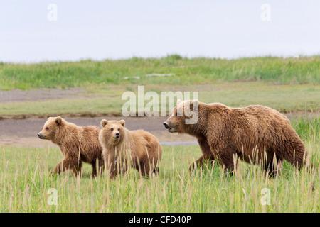 Grizzly bear/Alaskbrown bear Ursus arctos - Stock Photo