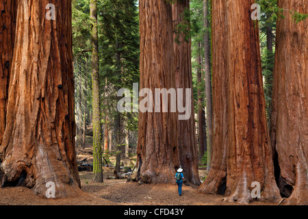 Hiker, admiring the Giant Sequoia trees (Sequoiadendron giganteum), Sequoia National Park, Sierra Nevada, California, - Stock Photo