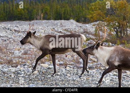 Mountain woodland caribou Rangifer tarandus - Stock Photo