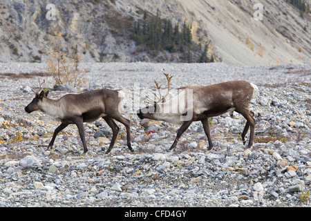 northern woodland caribou  Rangifer tarandus - Stock Photo