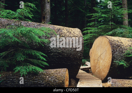 Large fallen Sitka Spruce tree with sectioned opening for boardwalk in Carmanah Provincial Park, British Columbia, - Stock Photo