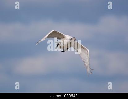 Bewicks Swan juvenile Cygnus columbianus also called Tundra Swan in flight - Stock Photo