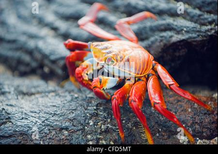 Sally Lightfoot crab (Grapsus Grapsus), Sullivan Bay, Isla Santiago, Galapagos Islands, UNESCO World Heritage Site, - Stock Photo