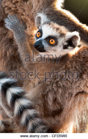 Infant Ring-tailed Lemur (6-8 weeks) clinging to mother. Berenty Private Reserve, southern Madagascar - Stock Photo