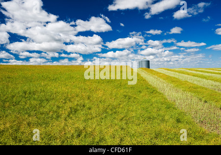Maturing swathed and unswathed canola with grain bins on top of hill, the Tiger Hills, near Bruxelles, Manitoba - Stock Photo