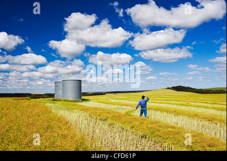 A man looks out over maturing swathed canola with grain bins on top of hill, the Tiger Hills, near Bruxelles, Manitoba - Stock Photo