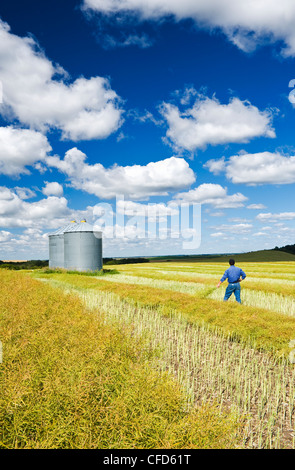 A man in maturing swathed and unswathed canola field with grain bins on top of hill, the Tiger Hills, near Bruxelles, - Stock Photo