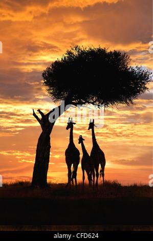 Giraffes (Giraffa camelopardalis) group at sunset, Masai Mara Reserve, Kenya, East Africa - Stock Photo