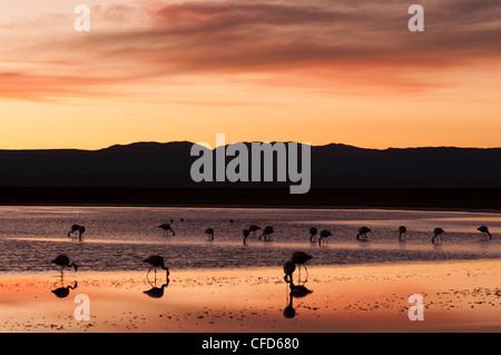Chilean Flamingo (Phoenicopterus chilensis), Laguna Chaxa, Salar de Atacama, Atacama Desert, Chile, South America - Stock Photo