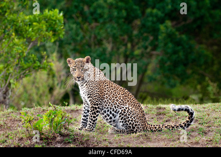 Adult female leopard (Panthera pardus), Masai Mara Reserve, Kenya, East Africa - Stock Photo