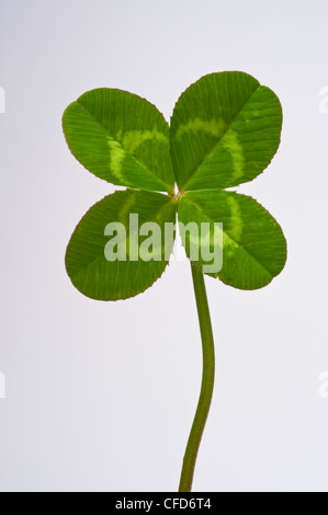 Four leaf clover on plain white background - Stock Photo