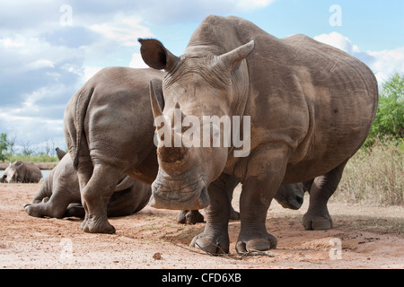 White rhino (Ceratotherium simum), Royal Hlane National Park, Swaziland, Africa - Stock Photo