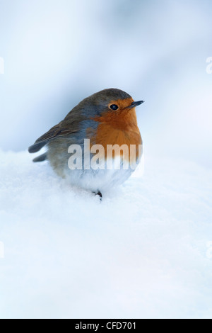 Robin (Erithacus rubecula), in snow, United Kingdom, Europe - Stock Photo
